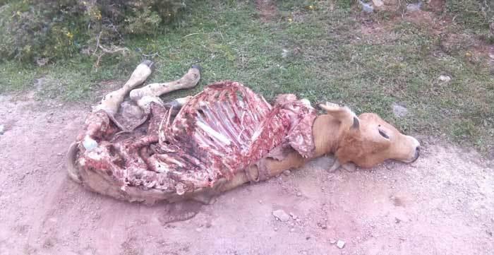 El lobo mata en Onís, a menos de dos kilómetros de Benia