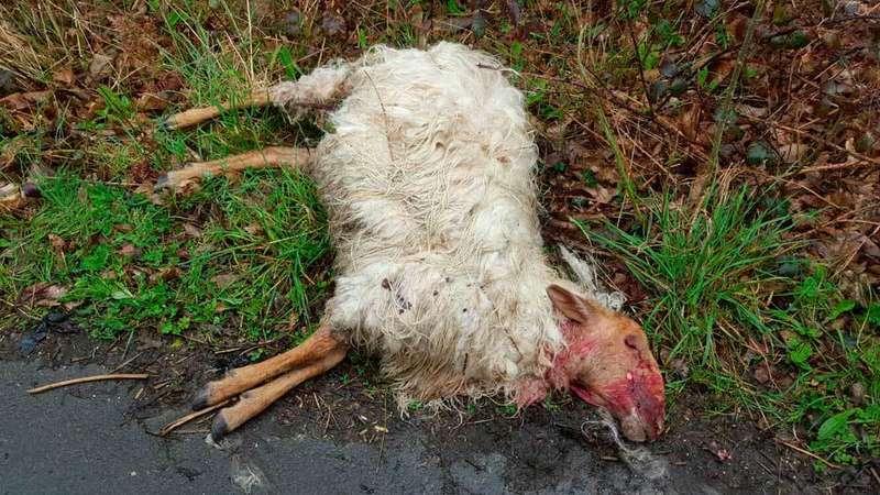 Una de las ovejas muertas.