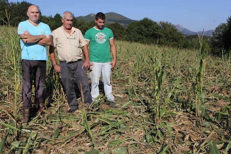 Javier Méndez, Gonzalo Peruyero y Adrián Quintana en el maizal arrasado en Ludeña.