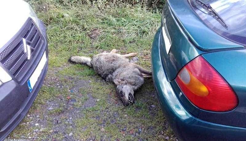 aparece muerto un lobo en cangas de onis