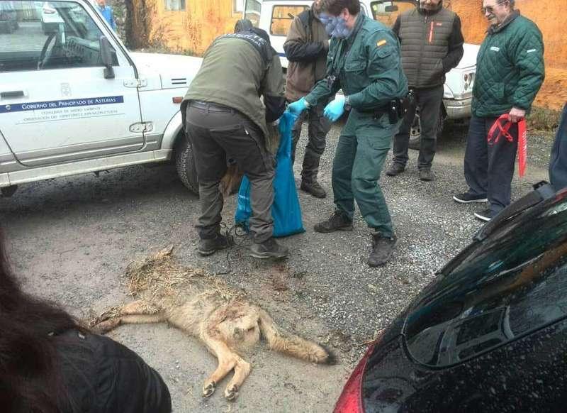 lobo muerto en aparcamiento arriondas