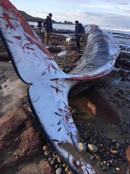 Encuentran una ballena muerta en el Arenal de Morís, en Caravia