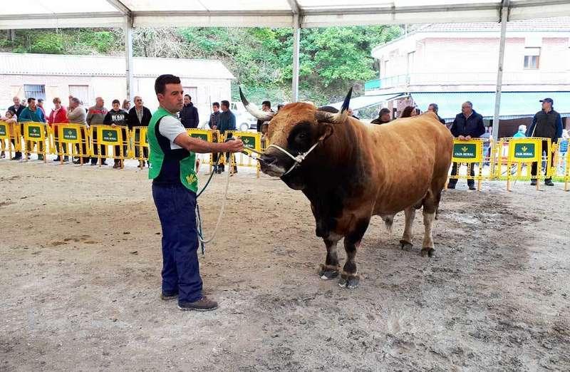 """""""Sandungu"""", """"Guindina"""" y """"Graciosa"""" los Grandes Campeones de la Raza Casina en Cangas de Onís"""