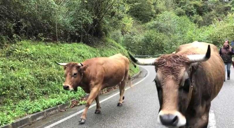 amieva-vacas-puertu