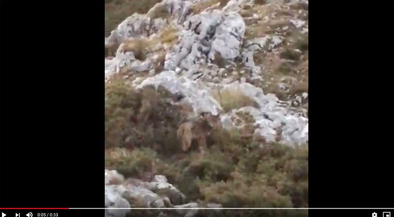 lobo-mirador-reina-lagos