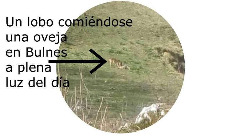 El lobo mata en Bulnes, a plena luz del día