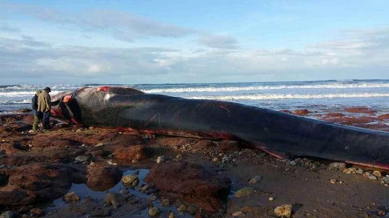 ballena-caravia-arenal-moris