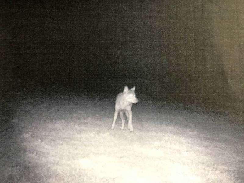 lobo-el-bosque-cangas