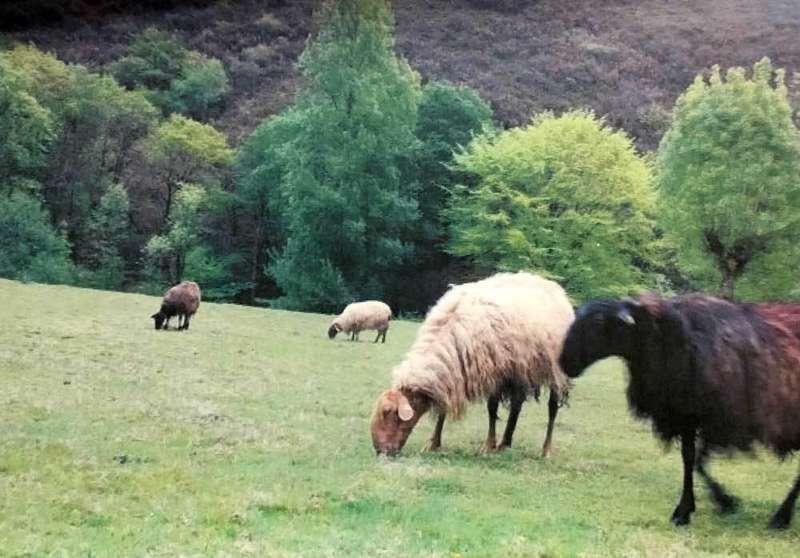 lobo-bosque-ovejas