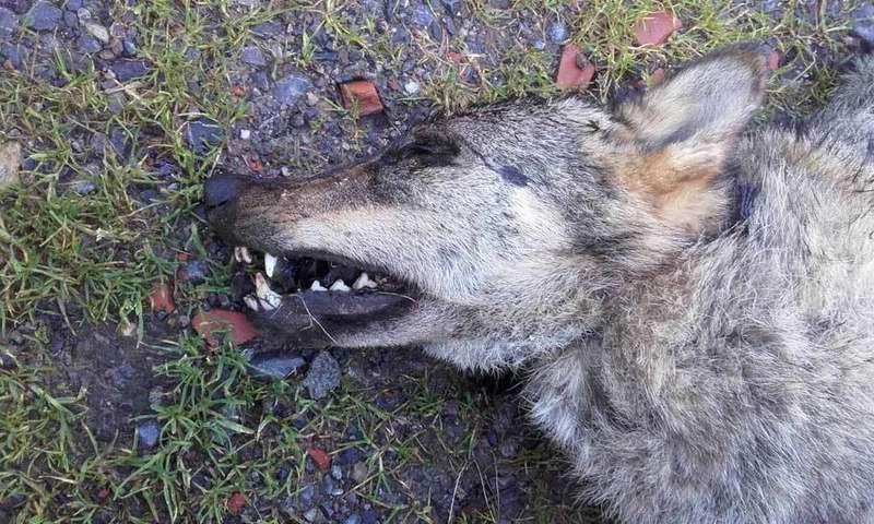 lobo muerto en cangas de onis