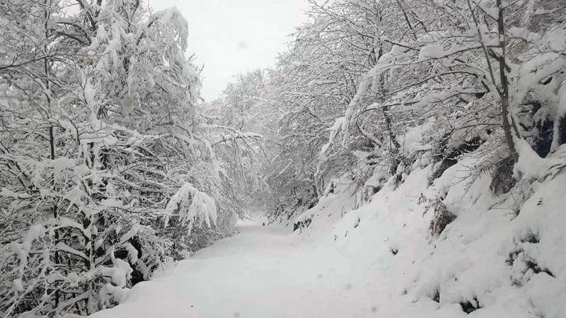 ponga-nevada