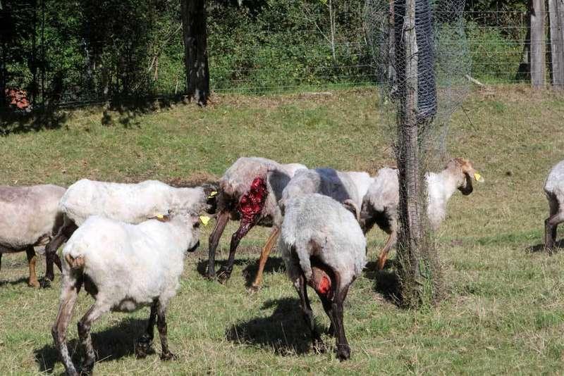 ovejas-lobo-nieda